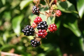 blackberry-200535__180