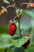 strawberries-849171__180